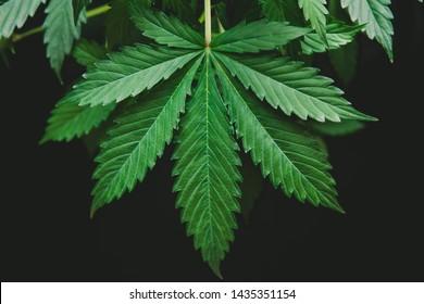 Growing cannabis indica on black background, cultivation cannabis, background green, marijuana leaves, hemp CBD, marijuana vegetation plants, top view