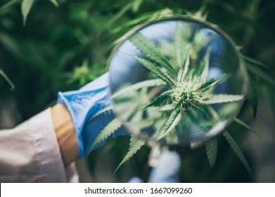 Growing cannabis indoors, hemp cultivation technique. Growing pot in groutent. Vegetative stage of marijuana growth. Medical marijuana. Background of cannabis leaves. A large amount of marijuana.