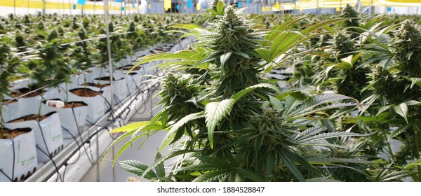 Growing cannabis in Israel Agriculture