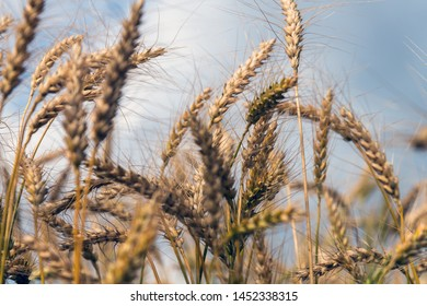 Growing cereals against cloudy sky.