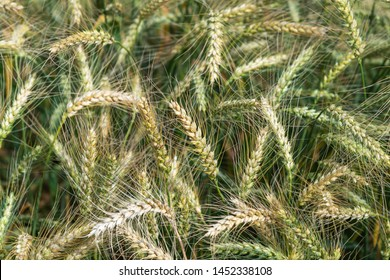 Growing cereals in agricultural field.