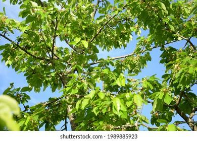 Growing cherrys on a tree stil green not ripe cherry