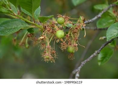 Growing cherrys on a tree stil green not ripe cherry.Variety Name : Black Star. Origin : italy