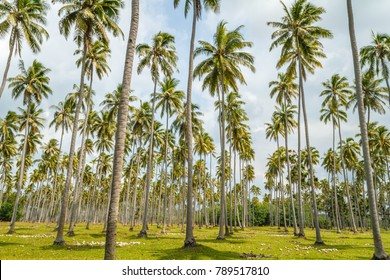Growing coconut palms and fallen coconuts on the ground, Ratua Private Island, Vanuatu