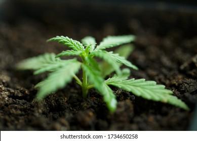 Anbau von Hanf, Anbau von Hanf aus Samen. Konzept der Anpflanzung von Marihuana in Töpfen drinnen. Cannabis wächst drinnen, CBD-Öl mit Kopierraum