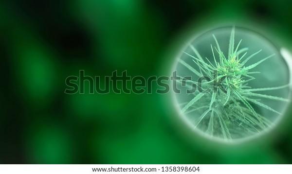 Crecimiento del aceite de CDB de cannabis para uso médico comercial. Concepto de medicina alternativa herbal. Producto de marihuana premium en aumento. Influencia positiva y negativa del cáñamo en el cerebro humano, sistema nervioso