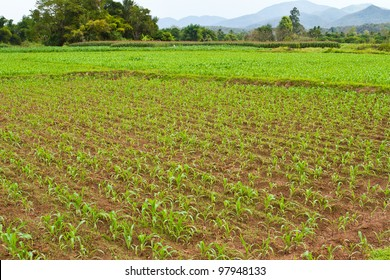 growing corn in countryside of Thailand