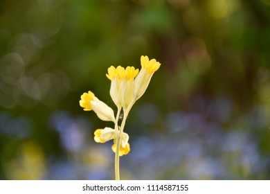 Growing cowslip flower head closeup by a blurred background