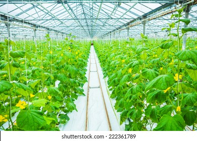 growing of cucumber in greenhouse