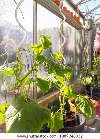 Awe Inspiring Growing Cucumber Plants Home Small Greenhouse Stock Photo Interior Design Ideas Philsoteloinfo