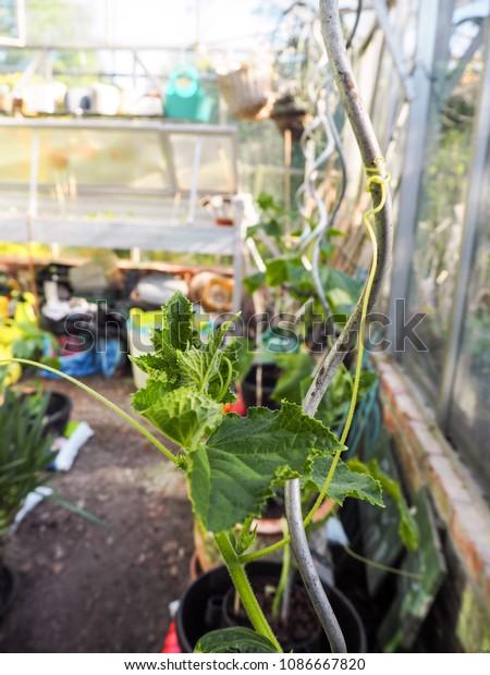 Enjoyable Growing Cucumber Plants Home Small Greenhouse Stock Photo Interior Design Ideas Philsoteloinfo