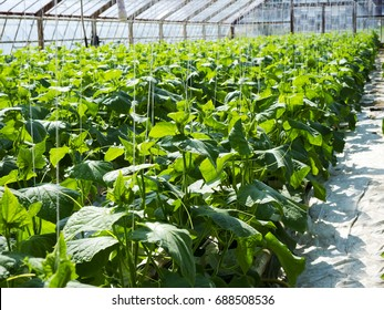 Growing cucumbers in a greenhouse on a perlite substrate