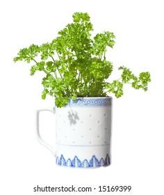 growing curly parsley in a mug (windowsill gardening), isolated