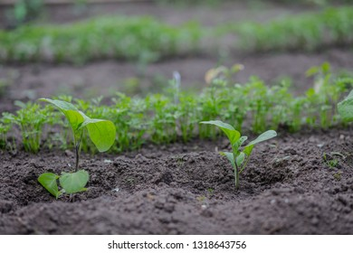 Growing eggplant on bed. green seedling of aubergine, brinjal growing out of soil. Densely planted young guinea squash plants ready for planting.