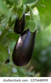 Growing eggplants in a greenhouse