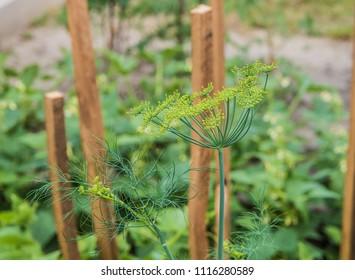 growing fennel in the garden