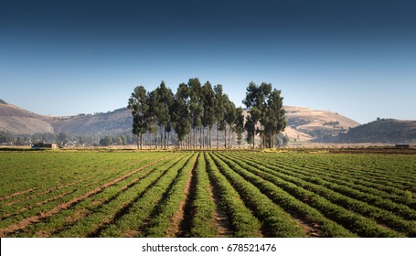 Growing field of carrots with eucalipts and blue sky.