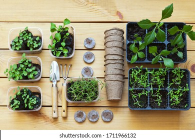 Growing flower seedlings in peat tablets and plastic containers, spatula, rake on a wooden background. Top view on petunia, purslane and dahlias seedlings. Flat lay, close-up
