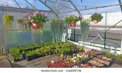 Growing flowers and green plants in a greenhouse. Production and cultivation of flowers. Young planting in a greenhouse.