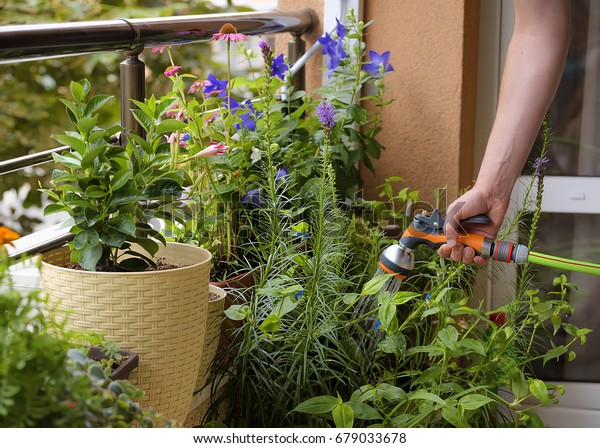 Growing flowers urban balcony. Man floating flowers with a hose. Pots of flowers Echinacea, Platycodon,  Campanula, Mandevilla