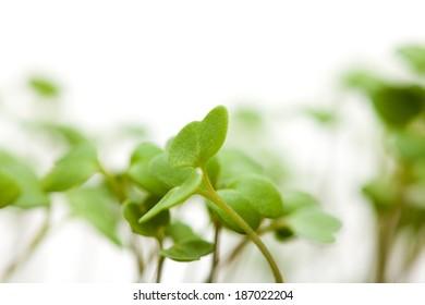 growing food - rocket salad seedlings
