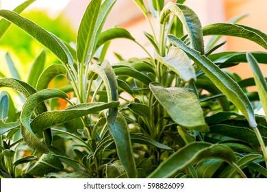 Growing garden sage in vegetable garden - close up