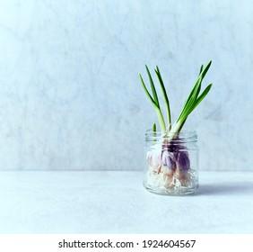 Growing garlic in a glass jar. Home garden