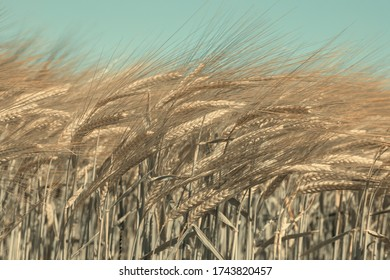 growing grains in the field