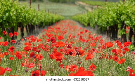 Growing grapes and poppies in a french vineyard