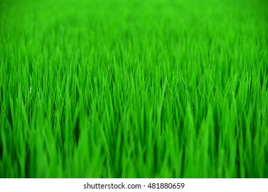 Growing grass