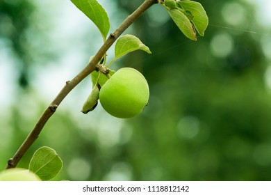 Growing green apple. Young apple on a branch.