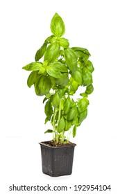 Growing green basil plants in pot