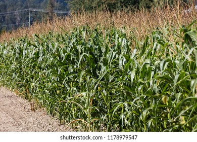 Growing Green Corn Field Culture in Canada