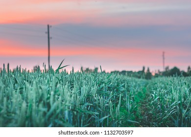 Growing green crop fields at colorful evening sunset. Orange and pinkish sky with clouds in countryside. Fresh air, clean environment, sustainable lifestyle.