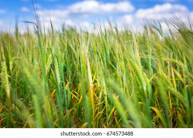 Growing green field of wheat on the meadow, Poland