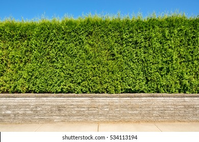 Growing green hedge on concrete terrace on blue sky background