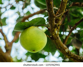 Growing green orange on tree