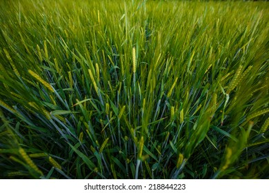 Growing Green Rye Spikes, Green Agricultural Background