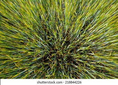 Growing Green Rye Spikes, Natural Green Background, Agricultural Pattern