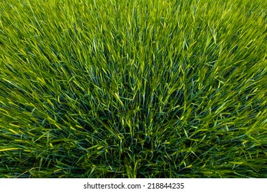 Growing Green Rye Spikes, Natural Green Background, Agricultural Texture