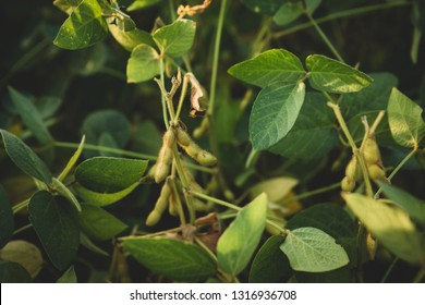 Growing green soy beans