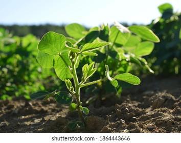 Grüne Sojabohnen wachsen auf dem Feld.
