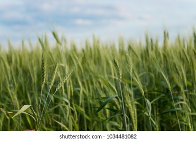 growing green spikelets in the field