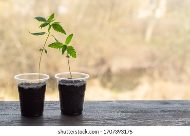 Growing hemp on the windowsill. Sprouted cannabis in plastic cup
