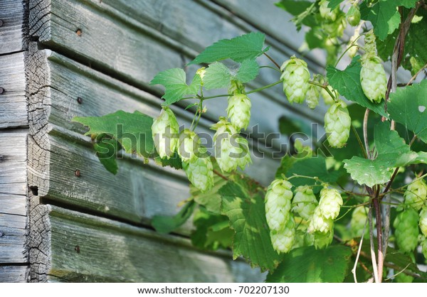 Growing hop with cones on the background of a wooden wall.