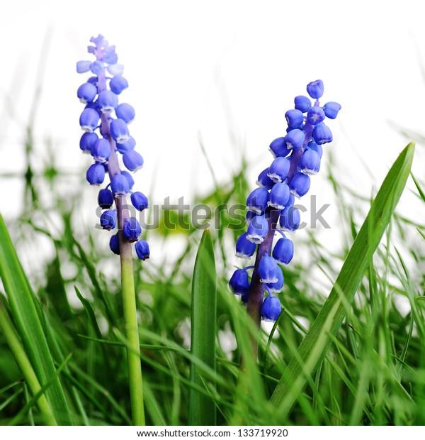 Growing hyacinth flower in  green grass