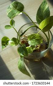 Growing an indoor money plant in transparent glass vase