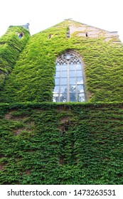 Growing ivy or other climbers up building wall can have many benefits. Green leaves surface with windows. Decorated with ivy. Green ivy wall. Natural decorations. Ivy plant on wall of building.