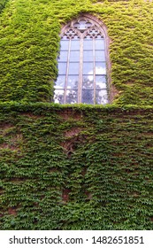 Growing ivy or other climbers up building wall can have many benefits. Natural decorations. Ivy plant on wall of building. Green leaves surface with windows. Decorated with ivy. Green ivy wall.