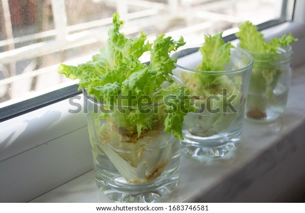 Growing lettuce in water from scraps in kitchen and on windowsill